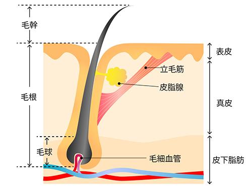 立毛筋の図